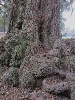 Gnarled Oak Tree Roots 2 by graceofbass