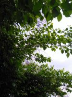 Leaf canopy 2 by Starpath-Sky
