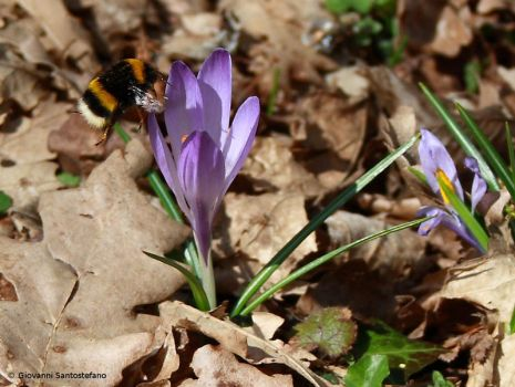Crocus and Bumble Bee by GiovanniSantostefano