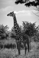 Black and White Giraffe by 5bodyblade
