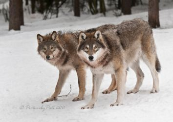 The Curious Wolves by PictureByPali