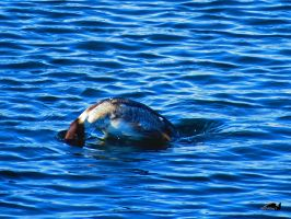 Diving Duck by wolfwings1