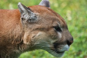 Florida Panther II by secondclaw