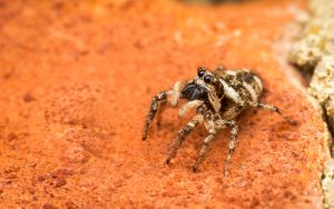 Jumping Spider by snomanda