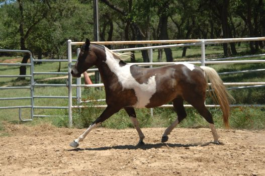 Black Pinto Arab Mare Trot 5 by kaons