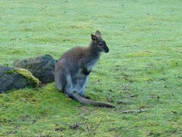 Wallaroo 005 by Elluka-brendmer