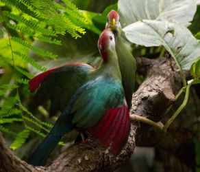 Red-crested turaco by Parides
