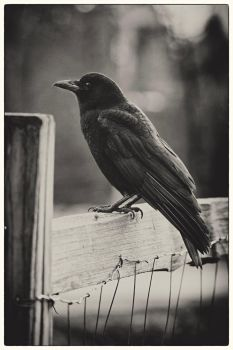 Portrait of a Crow by TenthMusePhotography