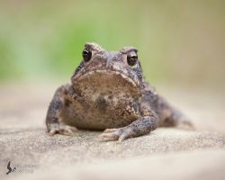 Toad 2 by EdgedFeather