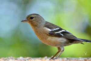 Chaffinch by Lady---Vengeance