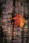 Scarred Tree and Leaf by AimeeDouglass