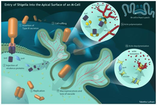 Shigella's Entry into M-cells by Strayfish