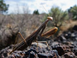 Praying Mantis by Iamidaho