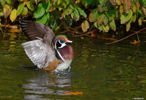 Wood Duck Display by TerribleTer