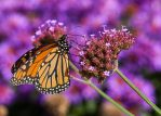 Monarch #46 by JED1948