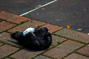 Pigeon 1 by Mackingster