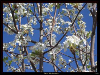 Pear Blossoms by Enty