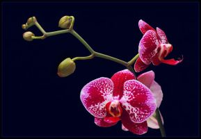 RED AND WHITE ORCHIDS by THOM-B-FOTO