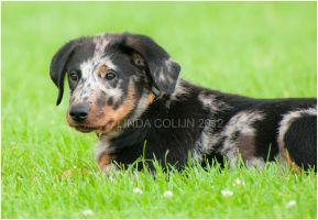 Beauceron Pup by KonikPolski