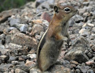 The Inquiring Chipmunk by TheDarkPenguin