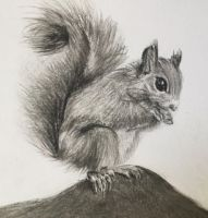 Charcoal squirrel  by VliegendeFiets