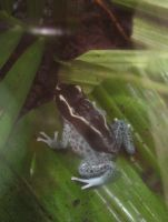 Blue Dotted Dart Frog by Sunspot01