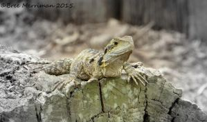 Eastern Water Dragon by BreeSpawn