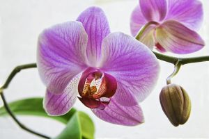Moth Orchid II by carlzon