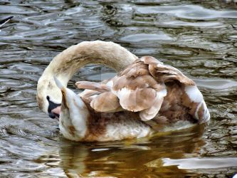 cygnet by LuntPhotography