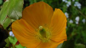 Orange Poppy by dragonfire70