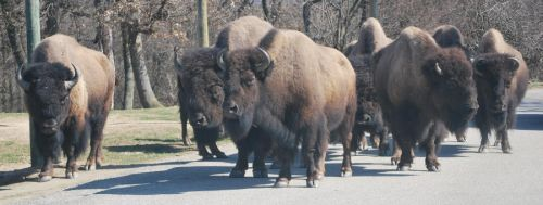 American Bison Pack by NicamShilova