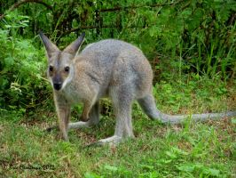 Baby Red Necked Wallaby by BreeSpawn