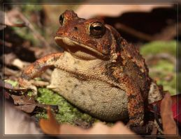American Toad 40D0031126 by Cristian-M