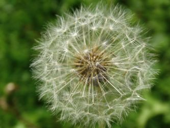 Dandelion by ShoespieReviews