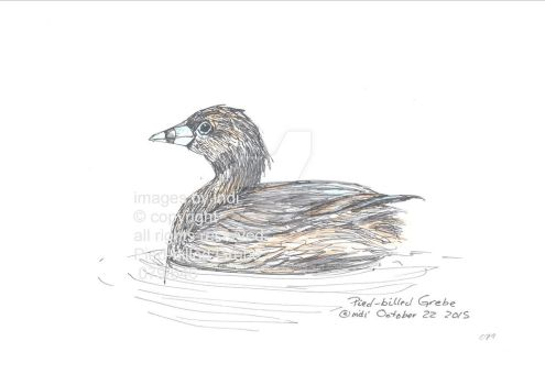 Pied-billed Grebe 079 by SarmatianWarrior