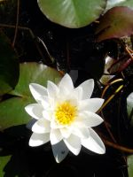Water Lilly by blackroselover