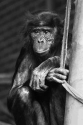 Black and White Chimp by Joker-laugh
