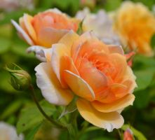 Orange Rose by Bushrch