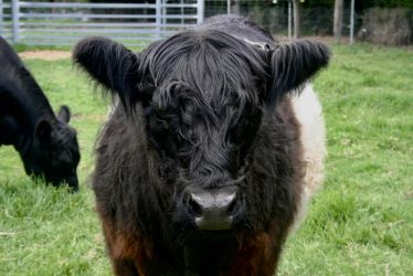 Belted Galloway by Attackoneverything