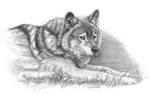 Wolf by sschukina
