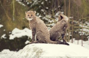 Cheetah cubs. by Ravenith