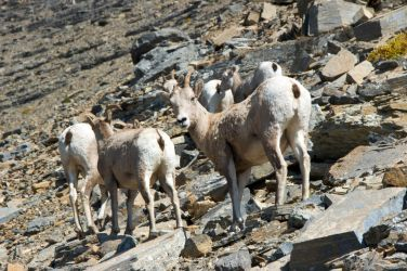 Little Big Horn Sheep by numapompilius