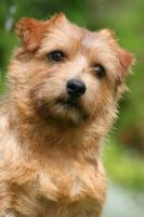 Flax the Norfolk terrier by SaNNaS