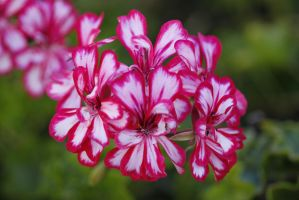 Geranium by Oaken-shield