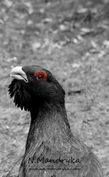 Capercaillie by darks