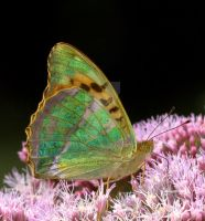 Silver Washed Fritillary 2 by naturelens