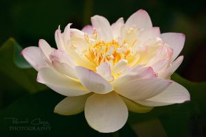 Divine Lotus by RHCheng