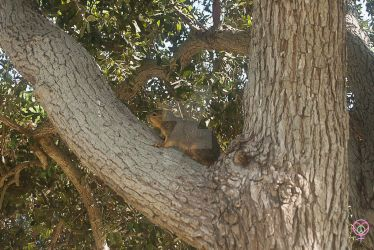 Yoga Rocks the Park Squirrel by LauraAnnTull