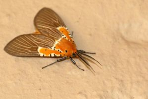 Tiger Moth by MaresaSinclair