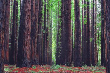 Redwood by FlabnBone